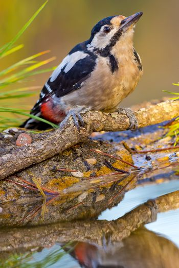 Great Spotted Woodpecker, Forest Pond, Mediterranean Forest, Spain