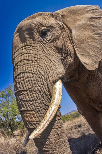 African Elephant,South Africa