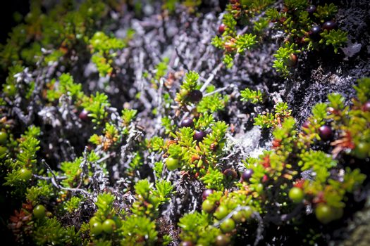 Black norwegian crowberry, wild fruits and plants in Norway.