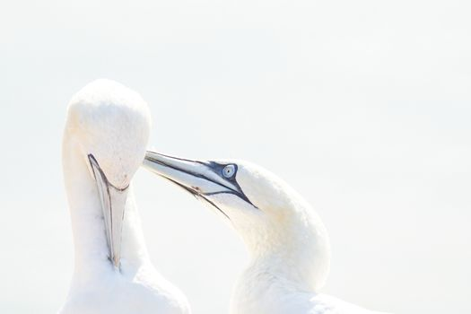 In soft light, two Northern Gannets heads welcome after landing. Soft light in high-key.