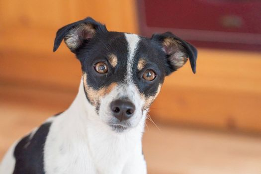 Brown, black and white Jack Russell Terrier dog, part of body, against a multicolored background, copy space.