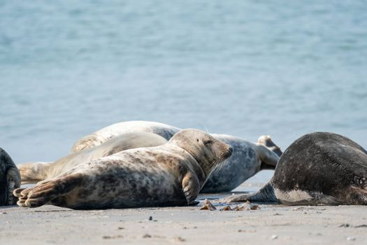 Wild Grey seal colony on the beach at Dune, Germany. Group with various shapes and sizes of gray seal.