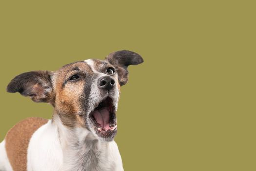 Funny Jack Russell Terrier seems to be screaming with the mouth wide open. Dog head against a gold background, copy-space.