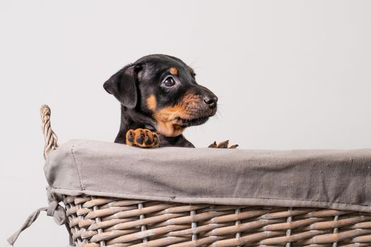A portrait of a adorable Jack Russel Terrier puppy, in a wicker basket, isolated on a white background.