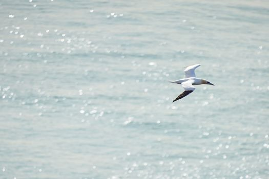 A single white and yellow gannet flies above the sea where the sun shines.