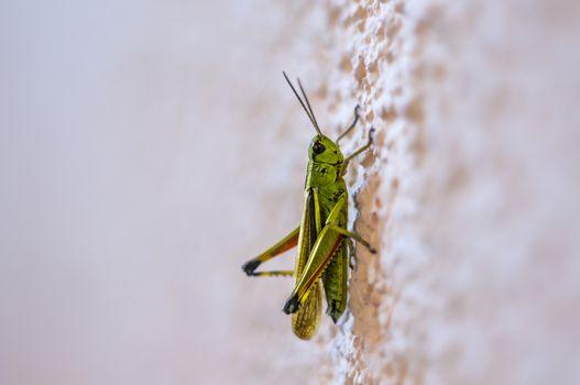 green grashopper at the wall