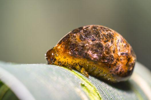 Thick grain pest caterpillar plague on wheat stalk