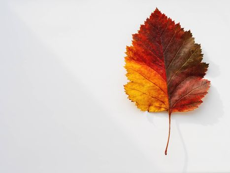 Bright and colorful autumn leaf. Top view on monochrome geometry with light and shadow. Minimalism. Fall season.