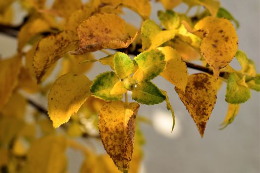 autumn leaves in yellow and brown at the branche as a close up