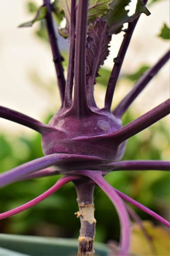 Purple kohlrabi as a close up in the flower box