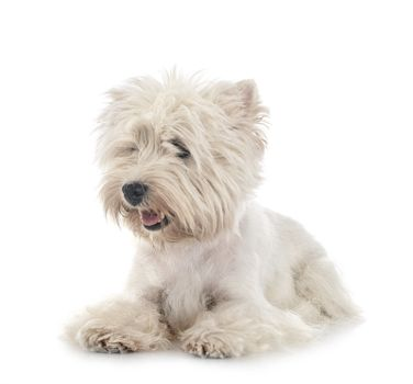 West Highland White Terrier in front of white background