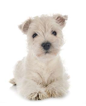 puppy West Highland White Terrier