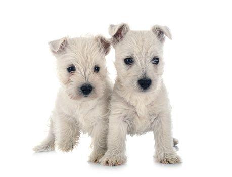 puppies West Highland White Terrier