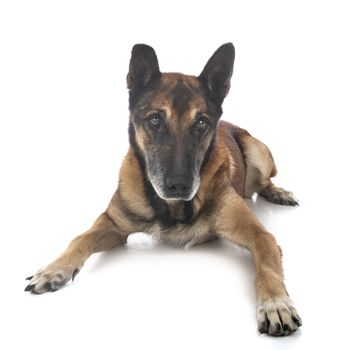 old belgian shepherd in front of white background