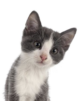 stray kitten in front of white background
