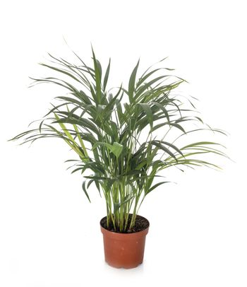 kentia in pot in front of white background
