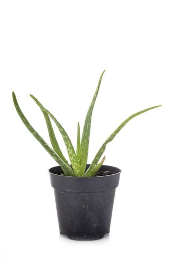 Aloe vera in front of white background