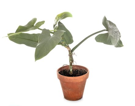 Philodendron hastatum in front of white background