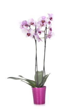 Phalaenopsis in studio
