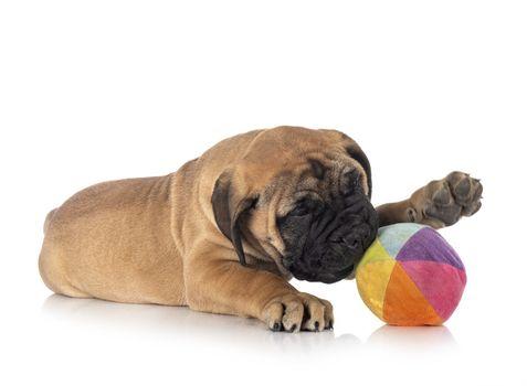 puppy bullmastiff in studio