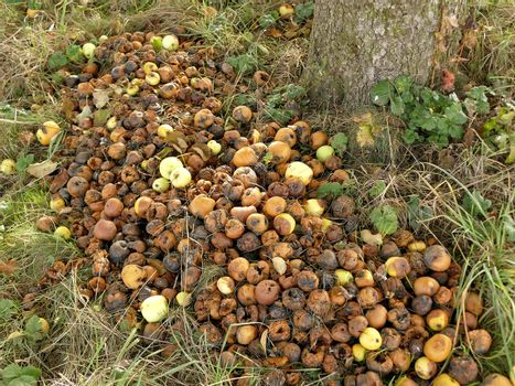 rotten apples in a meadow in autumn in Germany