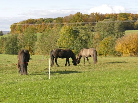 horses on a meadow in autumn in Germany