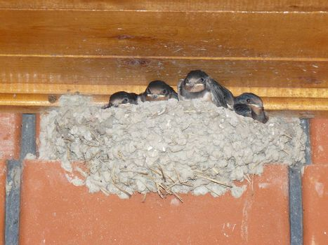 Swallow nest with the grown-up baby birds. Reproduction of nested birds.