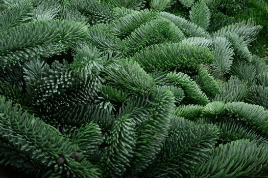 Traditional green christmas tree noble fir background copy space for text