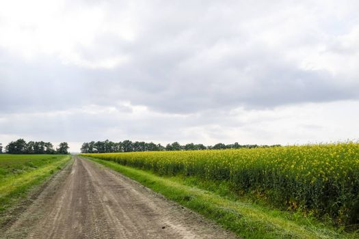 Road in rapeseed field and forest belt for wind protection