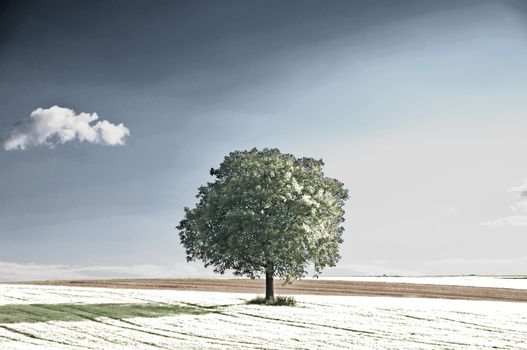 old pear tree in an infrared photo