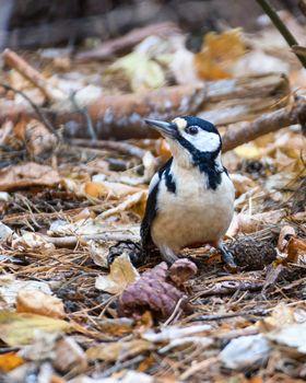 Woodpecker sitting on fallen leaves