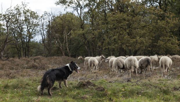 a border collie while herding a flock of sheep , he is very alert and waiting for commands of the shepard
