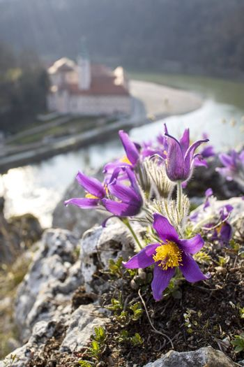 pasque flowers outdoor in spring