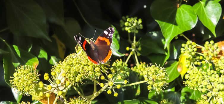 Red Admiral butterfly. Vanessa atalanta sitting on a blooming iv