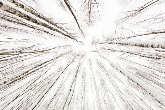 Winter forest. Snowy wood captured with Fish-Eye lens. Bottom view on birch trees. Cloudy sky.