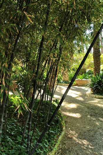 Phyllostachys Nigra bamboo forest in the garden