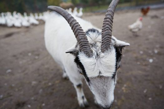 Happy Goat. Goat is standing and looking into the camera, selective focus on head