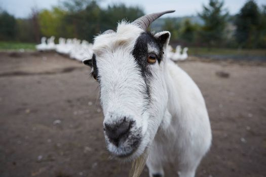 Goat with big horns and yellow eyes. Funny goat looking in camera. Livestock. Goat grazing on pasture. Animal portrait