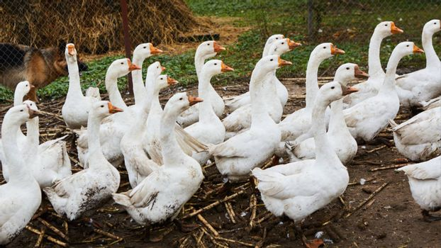 Domestic geese graze on traditional village goose farm. Group goose running in village.