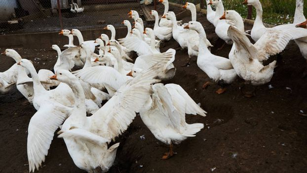 Domestic geese graze on traditional village goose farm. Group goose running in village