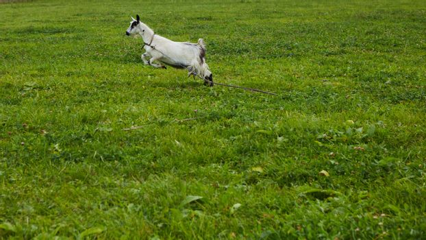 Spotted goat with big horns and yellow eyes grazing in a meadow. Funny goat on a leash eats a green grass. Livestock. Goat grazing on pasture. Animal portrait. Horny goats eating on a grass field.