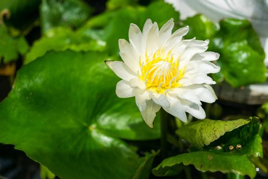 White lotus green leaves suitable for worship.