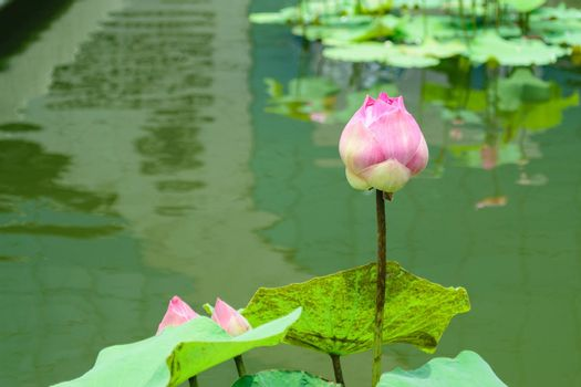 Pink lotus green leaves suitable for worship.
