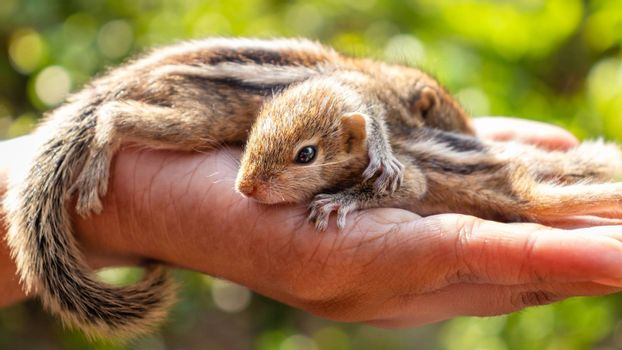 Cute small baby squirrels resting on girls hand