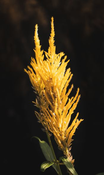 yellow pampas grass glowing in the evening light