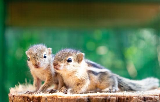 Cute hungry little Baby squirrels looking out for their mother