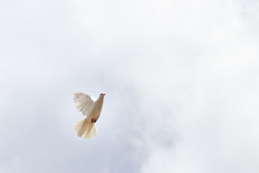 """""""The symbol of peace"""" White pigeon flying in the sky"""