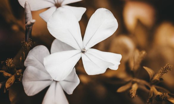 Small white Plumbago Flower macro out of focus background photograph