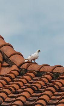 White pigeon on orange tile roof top