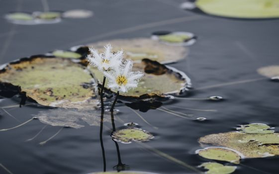 Nymphoides aquatic flowering plants well known as kumudu flowers in Hiyare Reservoir